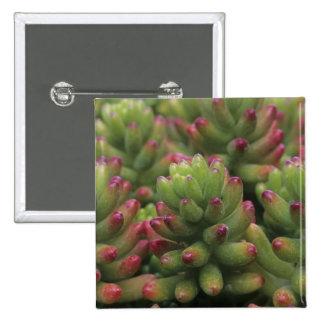 Sedum plant, Arizona-Sonora Desert Museum, Button