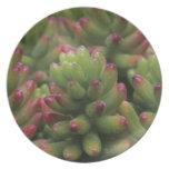 Sedum plant, Arizona-Sonora Desert Museum, Melamine Plate