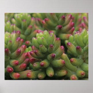 Sedum plant, Arizona-Sonora Desert Museum, Poster