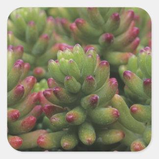 Sedum plant, Arizona-Sonora Desert Museum, Square Sticker