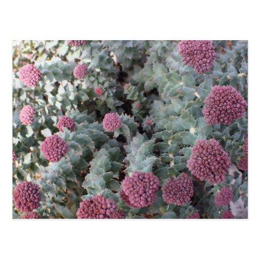 Sedum Plant Post Card