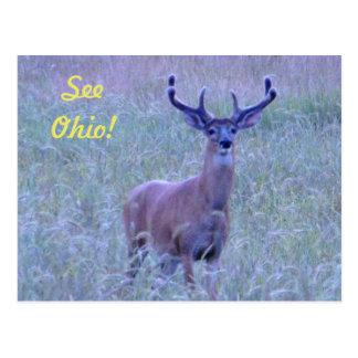 See Ohio ! (Whitetail Buck) Postcard