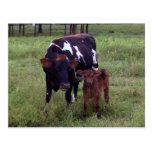 See the Resemblance?  Cow Postcard