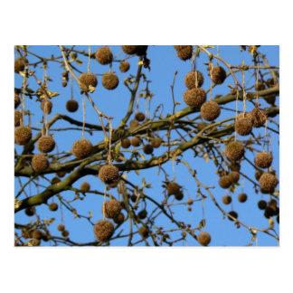 Seed Pods - London Plane Tree Postcard