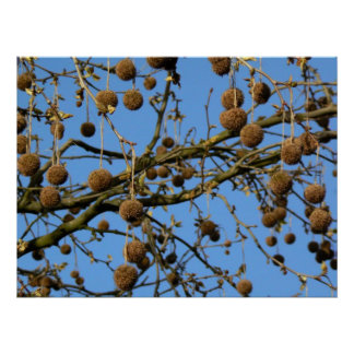 Seed Pods - London Plane Tree Poster