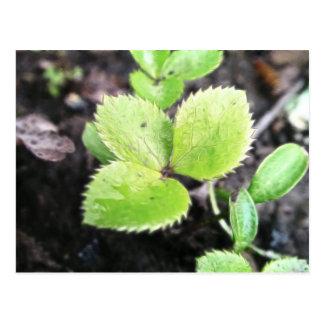 Seedling - Hellebore Postcard