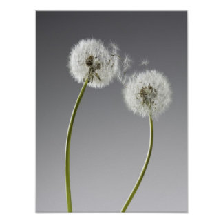 Seeds connecting two dandelions posters
