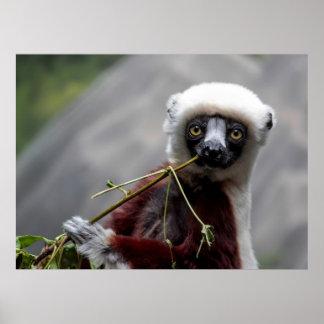 Sefaka Lemur Photo Poster
