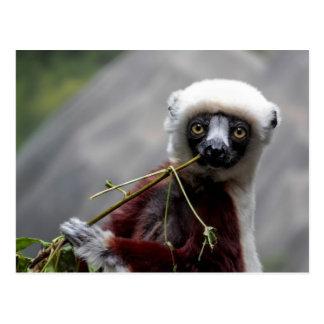 Sefaka Lemur Wildlife Animal Photo Postcard