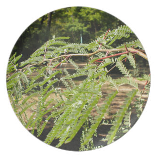 Selective focus on the young acacia branch with le dinner plate