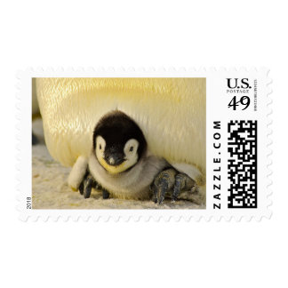Sello antártico del bebé del polluelo lindo del
