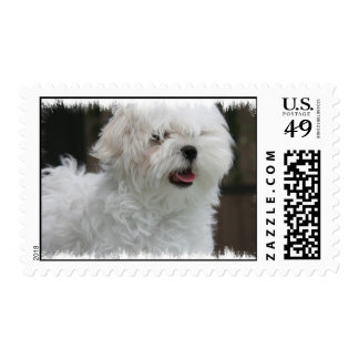 Sello blanco del perro maltés