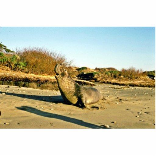 Sello de elefante septentrional, varón adulto escultura fotográfica