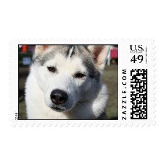 Sello de la foto del perro del husky siberiano