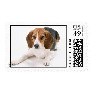 Sello del perro del beagle