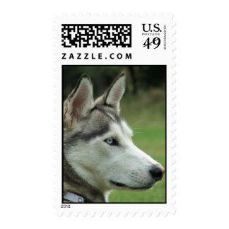 Sello hermoso de la foto del perro siberiano forni