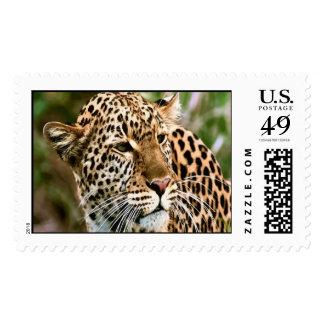 Sello manchado del leopardo