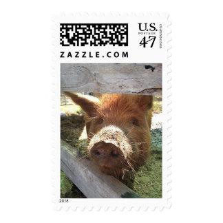 Sello miniatura australiano del cerdo