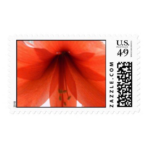 Sello rojo del Amaryllis