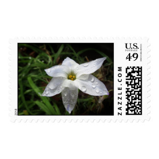 Sellos blancos de Starflower de la primavera