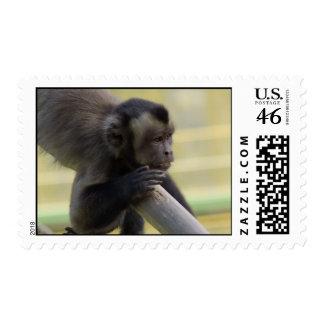 Sellos copetudos del mono del capuchón