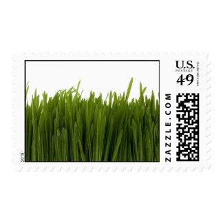 Sellos de la hierba del trigo