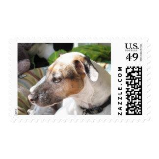 Sellos de la primera clase de Jack Russell Terrier