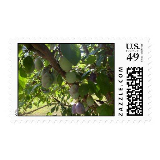 Sellos del árbol de ciruelo