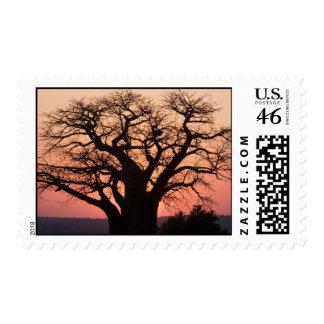 Sellos del árbol del baobab