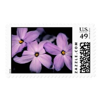 Sellos del Phlox del arrastramiento flores púrpur