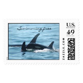 Sellos libres de la orca que nadan