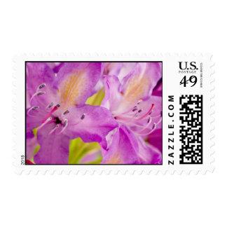 Sellos púrpuras del rododendro