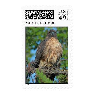 sellos Rojo-atados del halcón 2