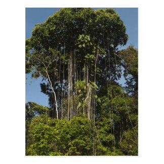 Selva tropical Guyana del borde del río de Rewa Postales