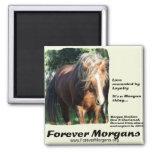 Semental de ForeverMorgans Morgan Imán Cuadrado