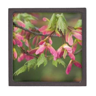 Semillas coas alas rosa del sicómoro - pseudoplata cajas de joyas de calidad