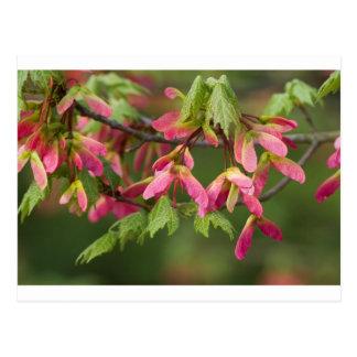 Semillas coas alas rosa del sicómoro - tarjetas postales