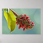 Semillas rojas de la magnolia meridional en poster
