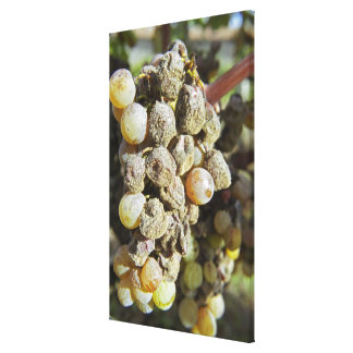 Semillon grapes with noble rot. at harvest time stretched canvas print