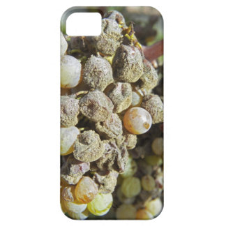 Semillon grapes with noble rot. at harvest time iPhone 5 cases