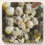 Semillon grapes with noble rot. at harvest time beverage coasters