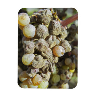 Semillon grapes with noble rot. at harvest time magnet