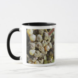 Semillon grapes with noble rot. at harvest time mug