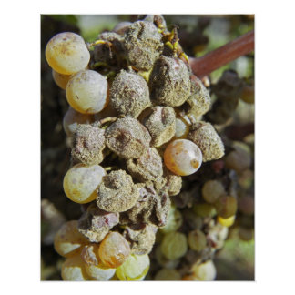 Semillon grapes with noble rot. at harvest time poster