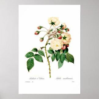 Semperflorens de Rosa; d'Orleans de Adelaide Póster