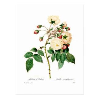 Semperflorens de Rosa; d'Orleans de Adelaide Tarjeta Postal