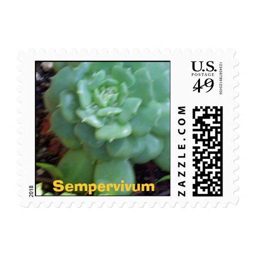 Sempervivum Postage