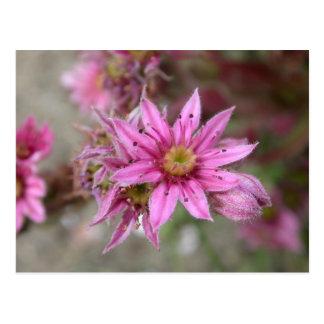 Sempervivum tectorum postcards