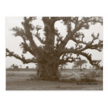 Senegal Baobab Tree Post Cards