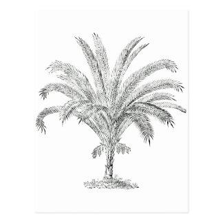 Senegal Date Palm Postcards